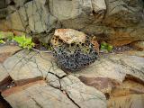 Образец ячеистого выветривания. Может быть, вначале был туф кислого состава (риолитовый), состоящий из обломков лав. Позднее этот туф хорошо пропарился горячими околовулканическими водами, и обломки разложились до глины. На морском побережье эти обломки большей частью вымыло, и сохранились они в форме пустот. Цемент между этими обломками, видимо, был покрепче, он и остался от всего камня в виде каркаса.