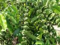 (фото 6) плантация кофейных деревьев
