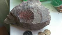 двустворчатый моллюск происходит из норийских отложений триасового периода Приморья, отложившихся в морских условиях около 200 млн. лет назад