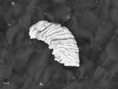 Рис. 1. Микропластина золота в силикатно-углеродистом матриксе графит-серицит-кварцевых сланцев (снято на сканирующем электронном микроскопе)