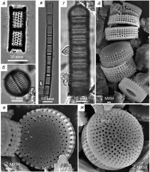 Рис. 7. Породообразующие таксоны Тереховского диатомита: а, в – Aulacoseira praegranulata var. praeislandica f. praeislandica (Sim.) Moiss., снимки на световом микроскопе (СМ); б, ж – панцири ауксоспор Aulacoseira, (б – СМ, ж – снимки на сканирующем электронном микроскопе (СЭМ)); г, д, е – морфологическая группа A. «praedistans» (г – СМ, д, е – СЭМ