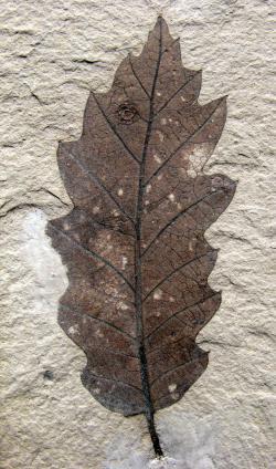 Рис. 8а. Новые виды рода Quercus раннеолигоценовой флоры Краскино:  Q. kraskinensis sp.nov.;