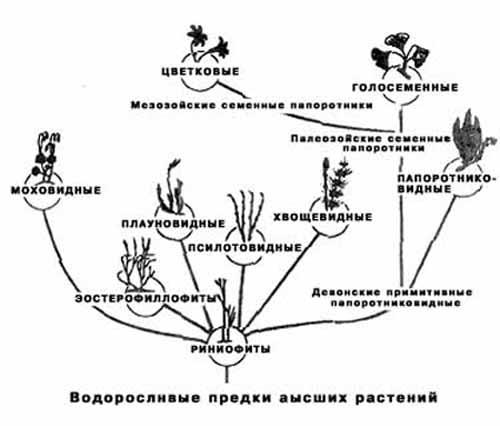 Рис. 1. Схема эволюционных взаимоотношений отделов высших растений.