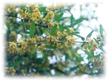 Принсепия китайская выращивание из семян 79