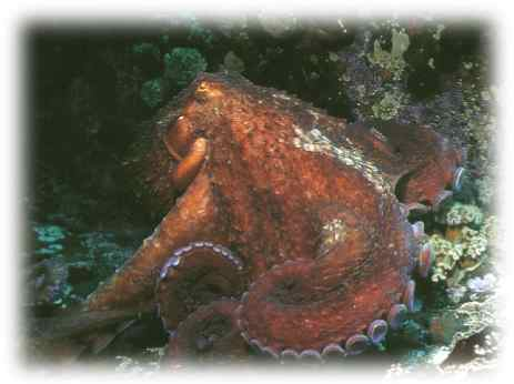 Giant octopus